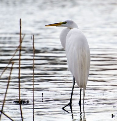 egrets are a common Florida bird