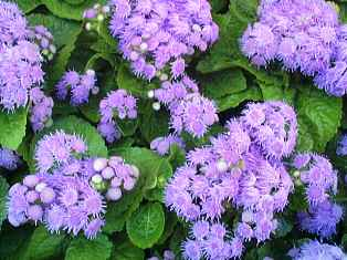 butterfly attracting blue ageratum in Floridian nature