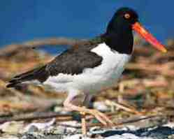 american oystercatcher bird found in Florida