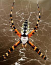 banana spider or golden silk spider
