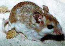 The Anastasia Island beach mouse found only on Anastasia Island in Florida