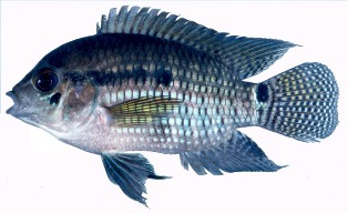 Widespread south of Lake Okeechobee, the black acara's native range is northern South America.