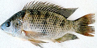 Widespread and abundant in Florida, blue tilapia is found in fertile lakes, ponds, rivers, streams, and canals.