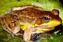 Florida bog frog, an amphibian of special concern in the state of Florida