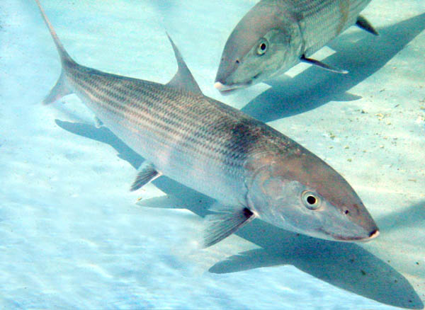Bonefish are found in South Florida and the Bahamas