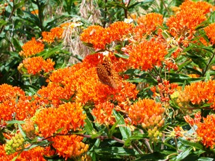 butterfly milkweed, a florida native plant to attract hummingbirds