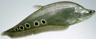 The clown knifefish is a very distinct, flat, silvery fish with a long anal fin that gives the knifefish its common name