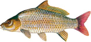 The common carp is a large, heavy bodied minnow with an arched back , and a small triangular head tapering to a blunt snout.