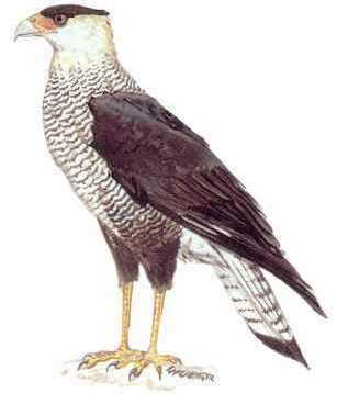 threatened species the crested caracara bird in Florida