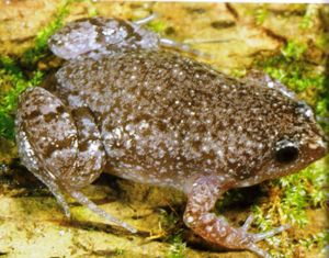 Eastern Narrow-mouthed Frog