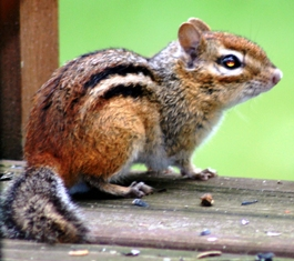 The eastern chipmunk, a species special concern in Florida, lives in open deciduous forests and at the edges of woodlands.