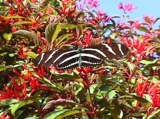 lively blooming firebrush plant attracts butterflies in Florida