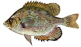 Flier sunfish are found in north and central Florida rivers and lakes