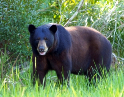 Florida black bear, a sub species of the American black bear
