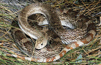 Florida pine snake a snake of special concern in Florida