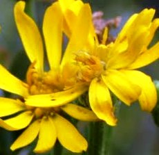 Florida golden aster is currently known from Hardee, Hillsborough, Manatee and Pinellas Counties, Florida.