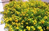 golden lantana running wild through Florida