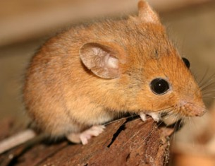 Golden mice inhabit climates, such as Florida, that are hot and wet in the summer and dry in the winter.