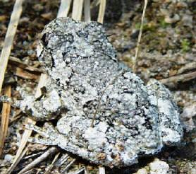 Gray treefrog found in Florida