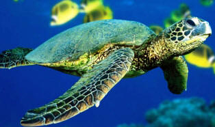 green sea turtle, an endangered reptile in the state of Florida