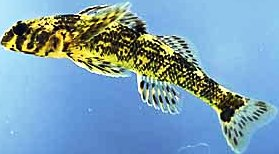 Harlequin darter fish, a fish of special concerns in Florida