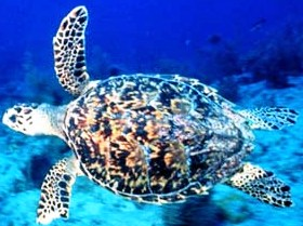 Hawksbill sea turtle, and endangered reptile in the state of Florida