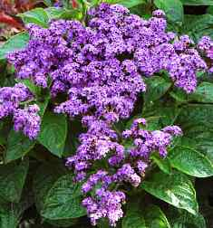 violet heliotrope has a large supply of nectar that attracts butterflies in Florida