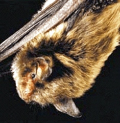 The Indiana bat is an endangered mammal and winters in Florida