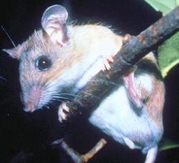 key largo cotton mouse an endangered mouse in the Florida Keys