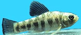 Lake Eustis pupfish, a Florida fish listed as a fish of special concern