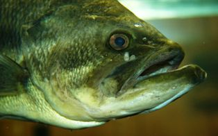 largemouth bass found in Florida lakes and streams