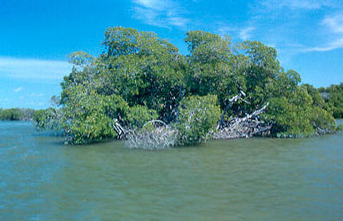 mangroves along the Florida coastline