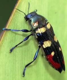 Metallic Woodboring Beetle