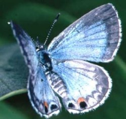 Miami blue butterfly, an endangered invertebrate in the state of Florida