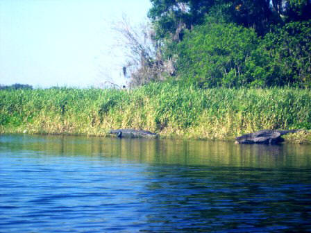 American alligators on the side of the Myakka River in Florida