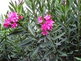 toxic oleander grows throughout Florida