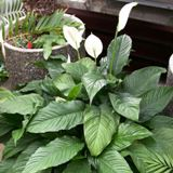 Florida peace lily
