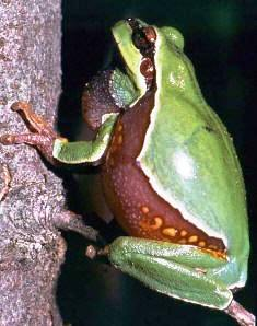 Pine Barren treefrog a amphibian of special concern in Florida