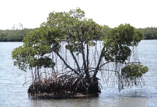 red mangrove trees, found along Florid'a coastline