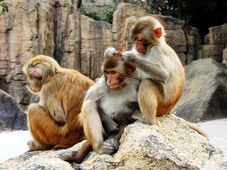 a group of Rhesus Macaque mammals