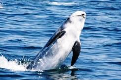 Risso's dolphins are a relatively robust dolphin with a rounded head, similar in shape to the more familiar pilot whale.