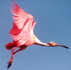Roseate spoonbill bill, a bird of special concern in Florida