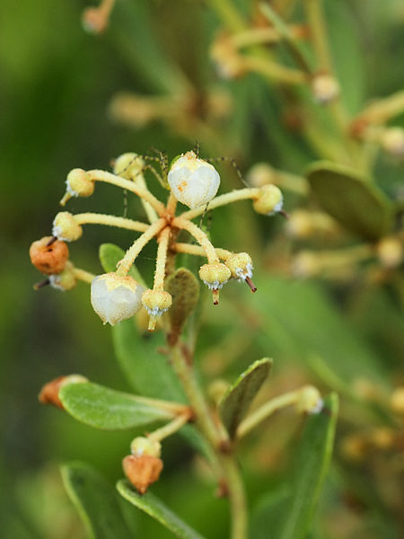 Rusty Lyonia plant found throught the state of Florida