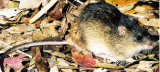 Sanibel Island Rice rat found only on sanibel island in Florida
