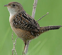sedge wren on a perch