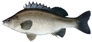 silver perch or yellowtail, a saltwater fish found in Florida waters