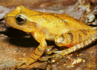 Southern Spring Peeper frog