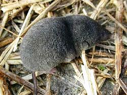 The Southern Short-tailed Shrew, Blarina carolinensis is found in woods, fields, and brushy areas through out the state of Florida