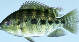 spotted tilapia are found in many canals around Miami Florida