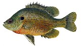 spotted sunfish or stumpknockers are common bottom feeders in Florida